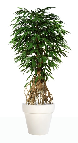 Longifolia Root 220 cm Green